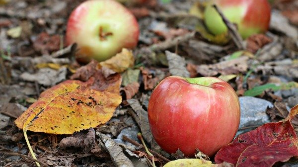 Honeycrisp Apples And Fall Leaves